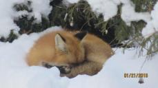 a-good-nap-after-a-good-drink-on-my-birthday-21-jan-2017-red-fox-i-am-back-for-another-nap-img_0042