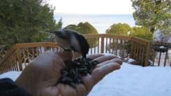 chickadee-return-11-jan-iimg_8313