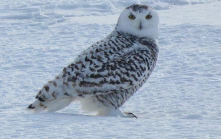 eagledeepthie-from-the-snow-country-wishing-seelan-a-happy-birthday-21-jan-2017-snowy-owl-jan-6-img_8107-jpg-cc