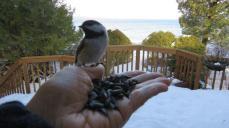 here-is-a-little-treat-til-lthe-chevas-get-to-you-chickadee-return-11-jan-iimg_8312
