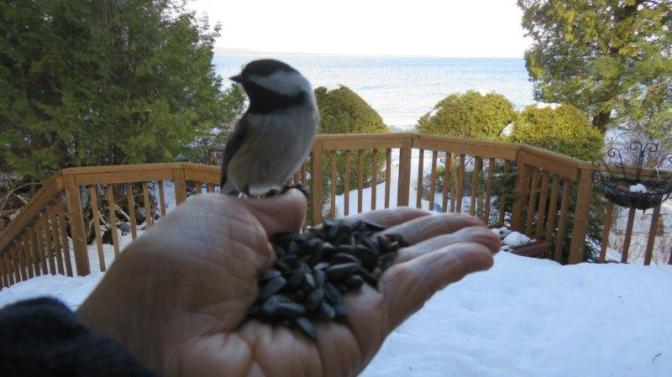here-is-a-little-treat-til-lthe-chevas-get-to-you-chickadee-return-11-jan-iimg_8312