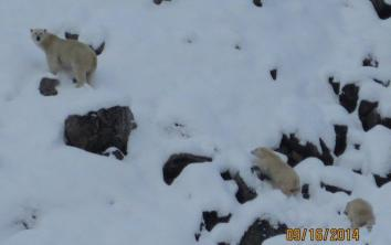 polar-bear-mom-abd-cubs-high-arctic-img_7102-cc-mom-checking-us-out