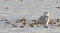 snowy-owl-jan-1-2017-img_8042