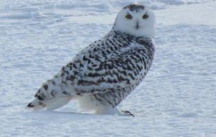 snowy-owl-jan-6-img_8107-jpg-cc