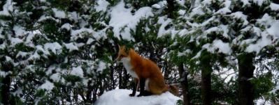 waiting-for-my-birthday-treat-my-chevas-regal-red-fox-nov-24-2016-img_7102-jpg-cc