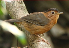 SriLanka Brown-Capped Babbler