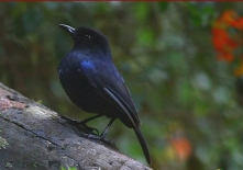 SriLanka Whistling-Thrus