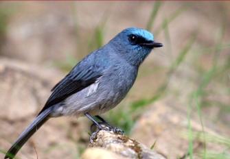 SriLanka Dull-Blue Flycatcher