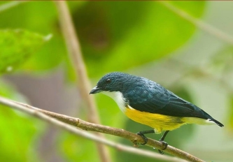 SriLanka White-throated Flowerpecker