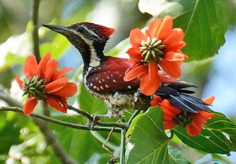 Crimson-Backed Flamback