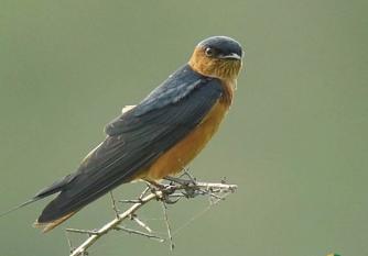 SriLanka Swallow
