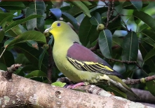 SriLanka Green Pigeon