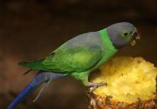 SriLanka Parakeet