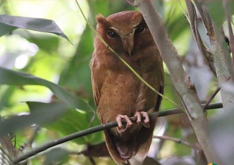 SriLanka Serendib Scop-Owl
