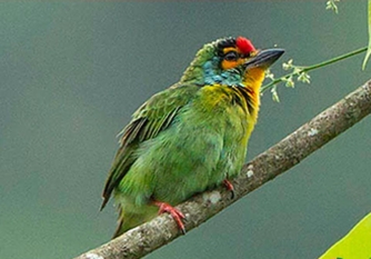 Crimson- Fronted Barbet