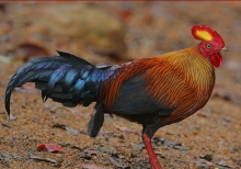 SriLanka Jungle Fowl