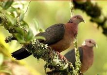 SriLanka Wood Pigeon