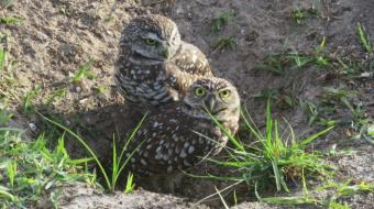 Burrowing Owls- day 2--8 am -IMG_3531 (3)